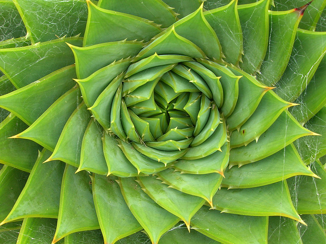 Aloe Fiboanacci Photo by Brewbooks
