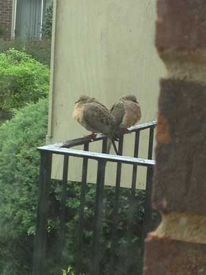 The Mourning Chronicles - Doves on Porch Rail
