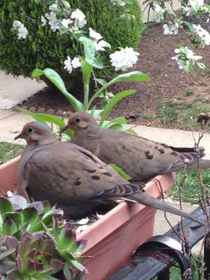 Photo Credit: Two Mourning Doves in the Nest by Roz Swartz Williams