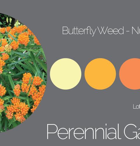 Perennial Garden Butterfly Weed - Palette 3
