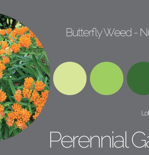 Perennial Garden Butterfly Weed - Palette 4