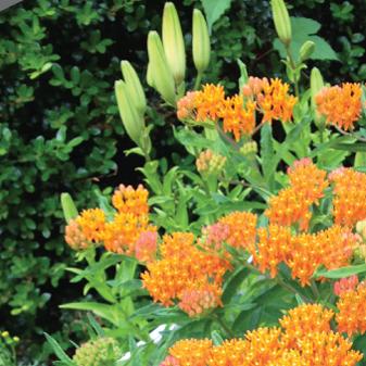 Perennial Garden Butterfly Weed